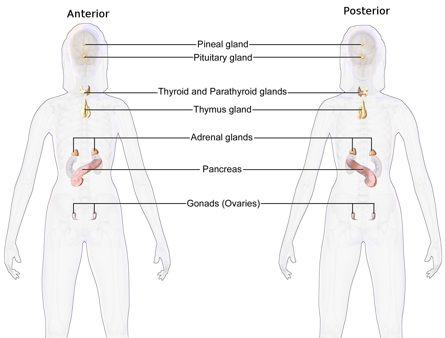 endocrine system functions - Essay: The Endocrine System and Its Various Functions